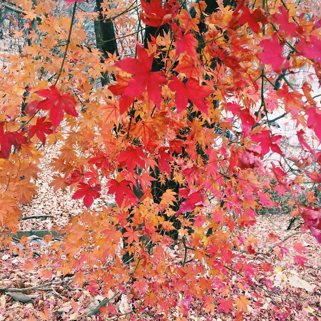 danpoong 가을 단풍놀이 한국의 붉게 물든 단풍도 아주 이뻐요