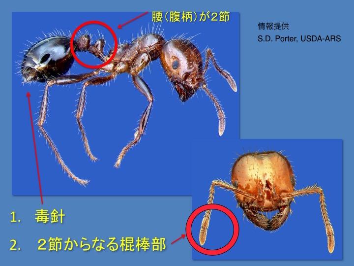 붉은 불개미 상세1 붉은 불개미 요코하마에서도 발견! 물리면 두드러기가..