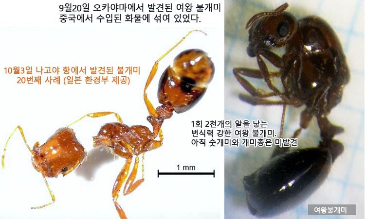 일본 붉은 불개미 여왕개미 발견 붉은 불개미 요코하마에서도 발견! 물리면 두드러기가..