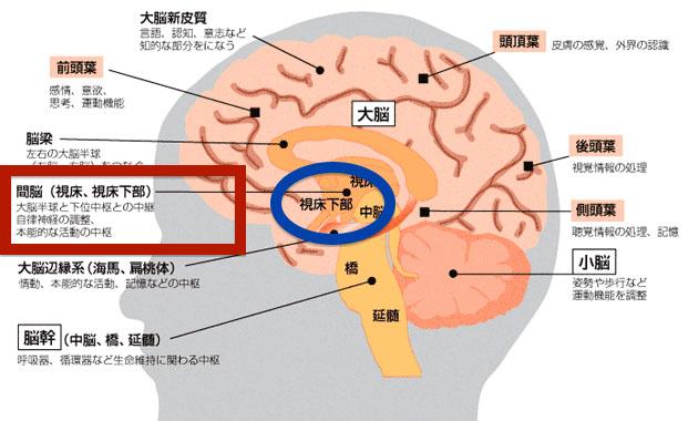 간뇌 시상하부 식욕조절! 탄수화물이 땡기게 하는 시상하부의 신경세포