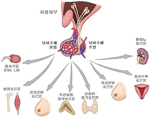 시상하부 기능 식욕조절! 탄수화물이 땡기게 하는 시상하부의 신경세포