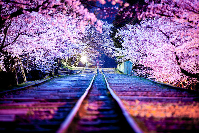 사쿠라의날 3월 27일 일본은 사쿠라의날(벚꽃날)