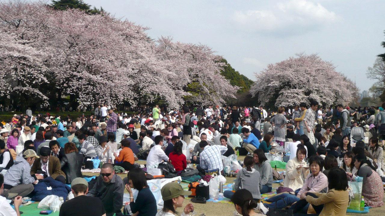 hanami 일본 벚꽃놀이 위한 개화시기, 만개 예정일