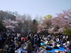 maruyama park hanami 247x185 삿포로여행   홋카이도 신궁에서 새해소원 빌기