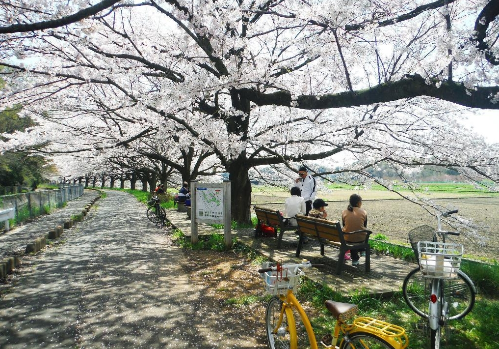 sakura road 드론 공중촬영 일본 벚꽃놀이 장소, 세계 최장의 벚나무 가로수길