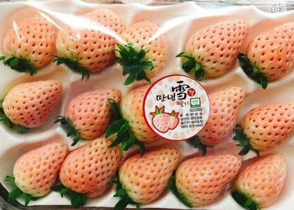 strawberry white 일본 오사카 핑크색 분홍딸기 vs 경남 산청의 하얀색 만년설 딸기