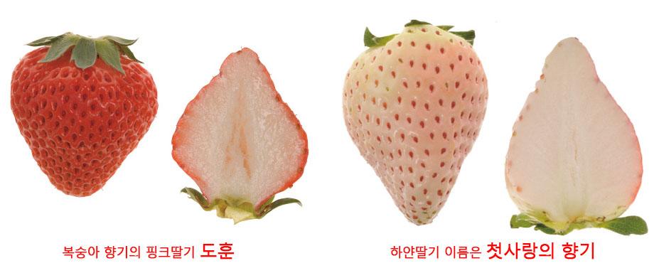 strawberry 일본 오사카 핑크색 분홍딸기 vs 경남 산청의 하얀색 만년설 딸기