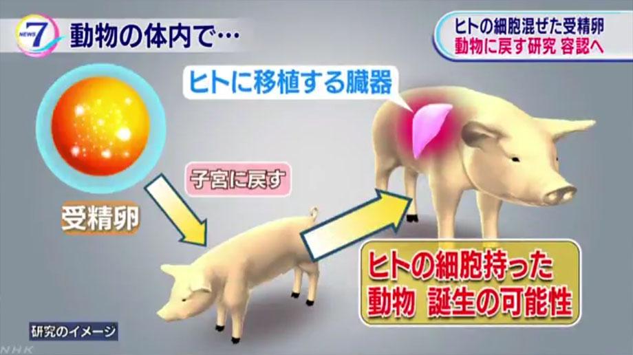 인간장기생산 일본, 동물 체내에서 인간장기 생산 조건부 승인
